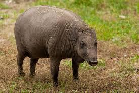 babi-hutan